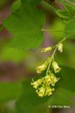 Wild Black Currant (Ribes americanum - Saxifragaceae)