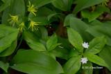 Blue-bead Lily (Clintonia borealis) & Starflower (Trientalis borealis)