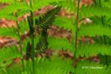 Interupted Fern (Osmunda claytoniana)