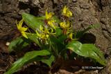 Trout Lilies (Erythronium albidum)