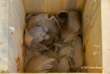 Tree Swallow Nest I
