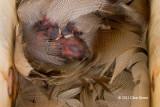 Tree Swallow Nest II