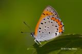 Gossamer-winged Butterflies (Lycaenidae)