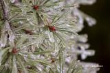 Icy Pine