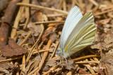 Whites & Sulphurs (Pieridae)