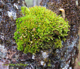 Mossy Crotch