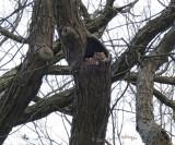 Cozy Screech Owls at Fresh Pond