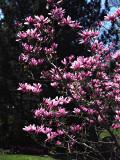 Flowering Magnolia at Mount Auburn Cemetery