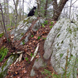 Rocky found a patch of Clintonia in a big rock