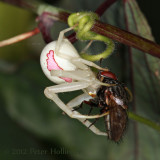 Goldenrod Crab Spider (Misumena vatia) with a fly