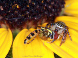 hoverfly for breakfast