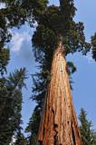 Giaant Sequoia