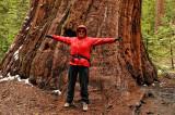 Margaret Ann measuring a Sequoia tree