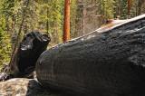 burned Sequoia log