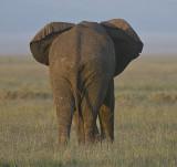 Elephant rear