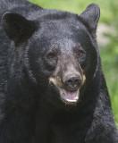 Black Bears in Minn with Charles Glatzer-2012.