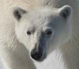 Polar Bears of Spitzbergen with Joe Von Ost-2012