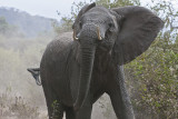 Angry young elephant confronts our vehicle