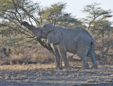 Elephant bring down tree for top leaves