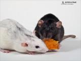 Cavia's & Ratten / Guinea pigs & Rats