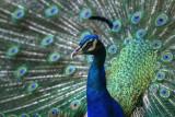 PeacockPfau