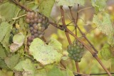 Fruto de la Vid, Usado Para Fabricacion de Vino