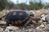 Monsoon Tortoise