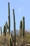 Saguaros and the Moon