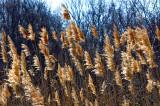 Sunny Reeds