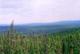 Looking north through endless boreal forest from Top of the World Highway