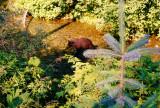 Bear in Fish Creek near Hyder, AK