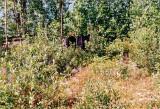 Black bear on Yellowhead Highway