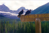 Ravens at Tangle Ridge