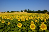 Sunflower fields near Grevena