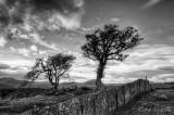 Tomen tree