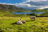 Cattle at Creggenen.