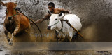 Bull racing on the open and wet rice fields