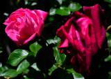 Rosa, Rosae, Rosas ...