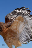 hawkrs7630_Red-shouldered Hawk