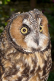 owlle6171_Long-eared Owl