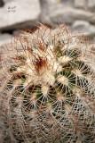 echreia5012_Lace Hedgehog Cactus