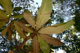 magtri7228_Umbrella Magnolia