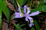 iricri2742_Dwarf Crested Iris