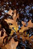 quebic7409_Swamp White Oak