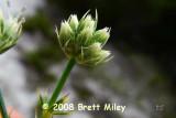 erycun1189_Eryngium cuneifolium