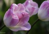 Bouquet de tulipes 2011