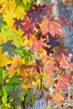 Fall Leaves Sweet Gum II.jpg
