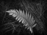 Fern and Fallen Pine
