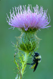Bumblebee on thistle copy.jpg