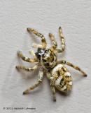 K5D0196-Metaphid Jumping Spider.jpg